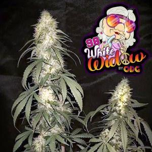 98-white-widow