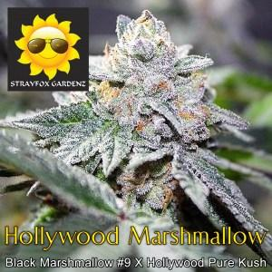 hollywood-marshmallow